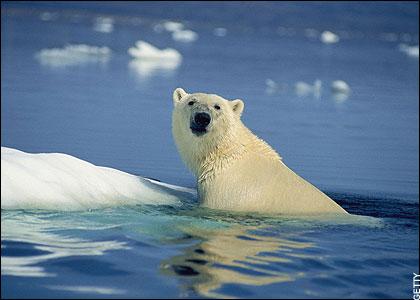 isbjörn-polar bear