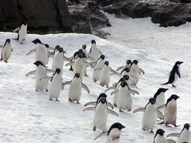 Adelie-pingviner i Antarktis