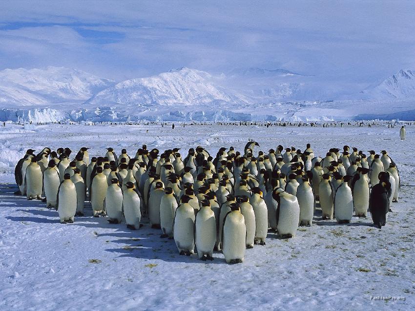 En flock kejsarpingviner