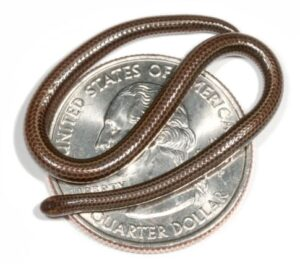 Barbados Threadsnake: At approximately 4.1 inches long, the Barbados Threadsnake is believed to be the world's smallest snake. It was discovered in St. Joseph Parish on the Caribbean island of Barbados.