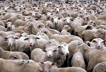 herd_of_sheep_311px1