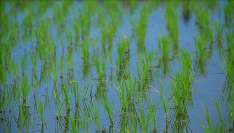 risfält