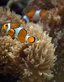 210px Clownfish in aquarium