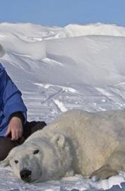 halvdöd isbjörn