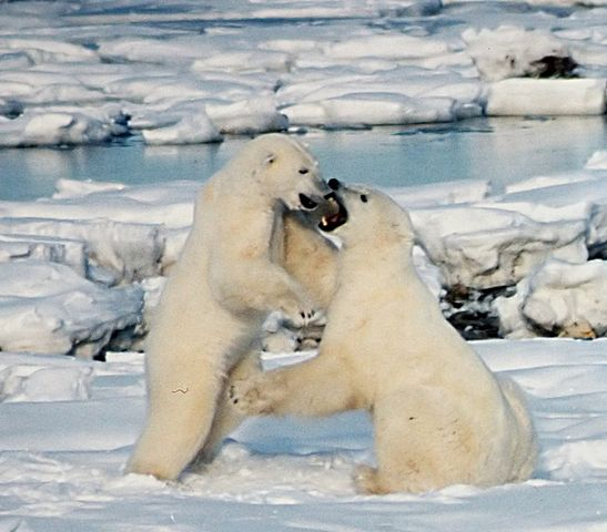 Polar_Bears_Play_fight