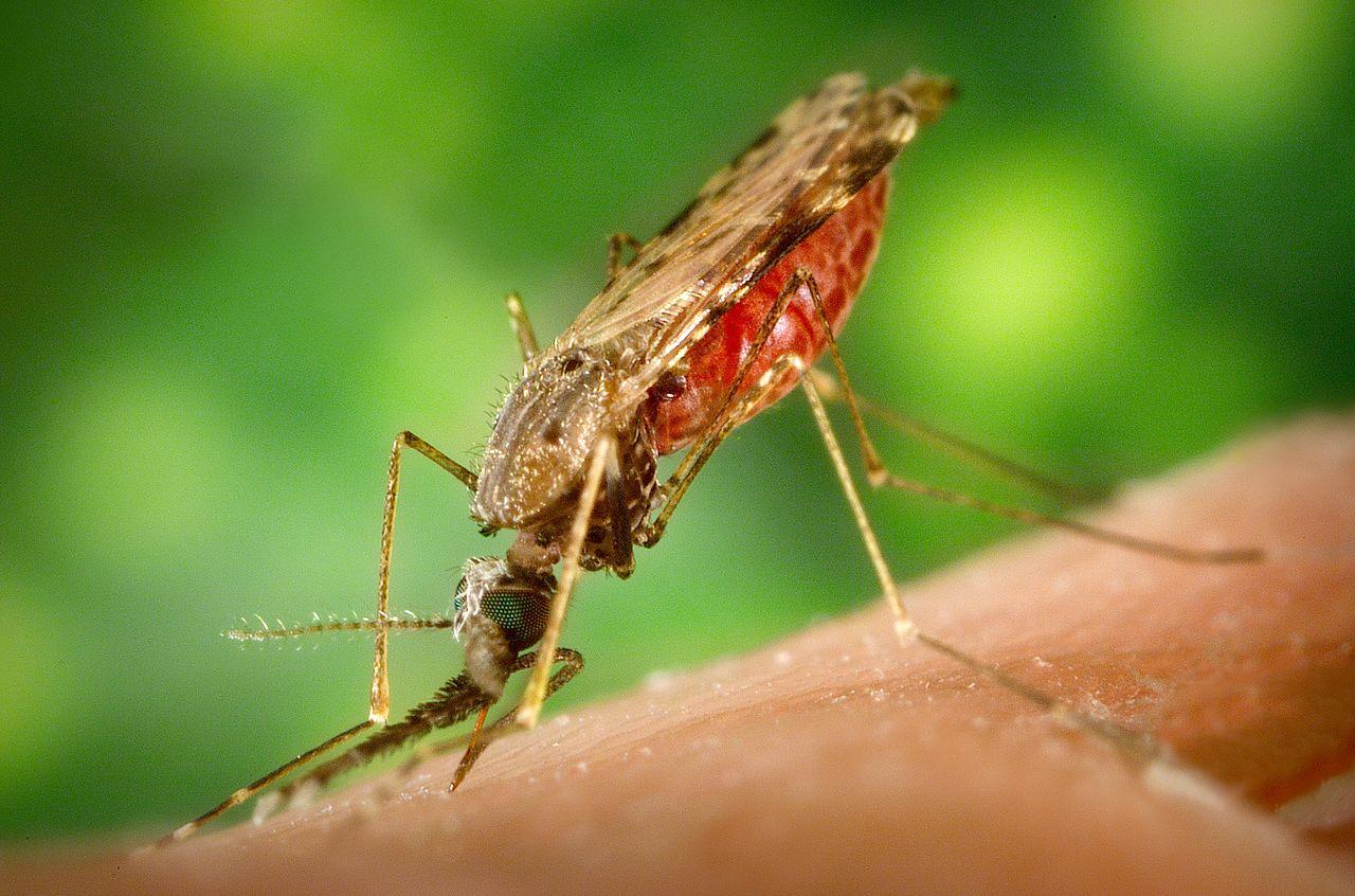 1280px-Anopheles_albimanus_mosquito