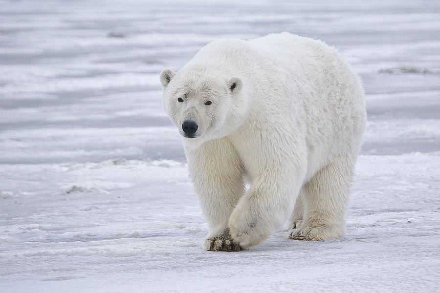 Polar Bear (Sow), Near Kaktovik, Barter Island, Alaska
