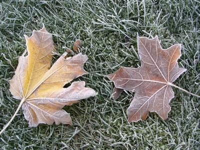 frost löv