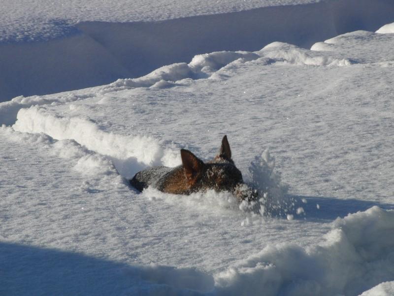 snö hund