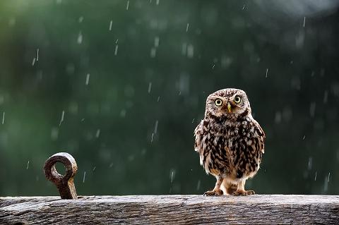 uggla i regn