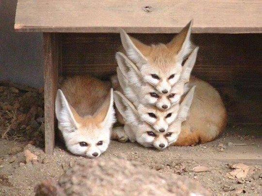 rävar