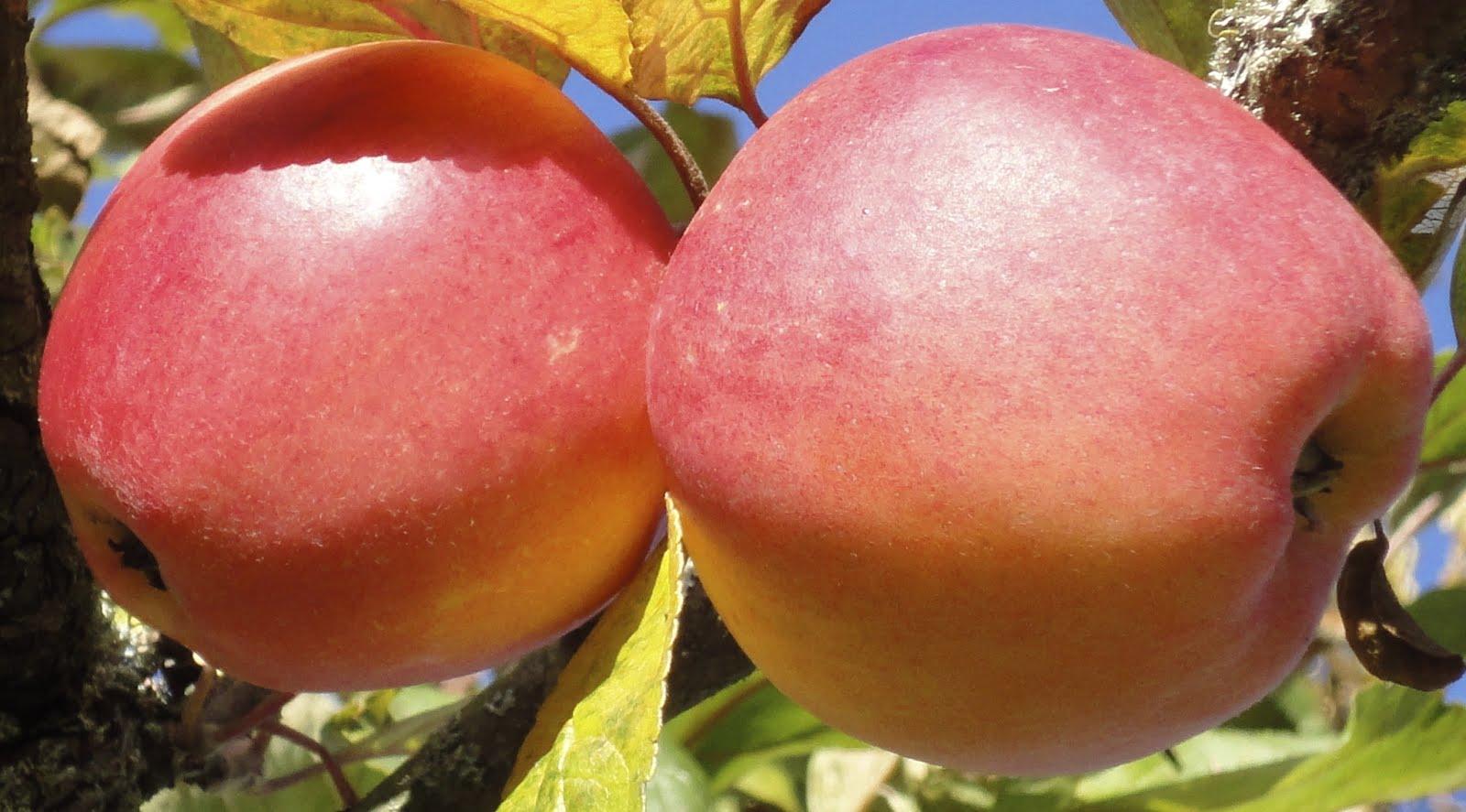 äpplen Åkerö