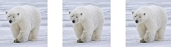 polar_bear_times_3