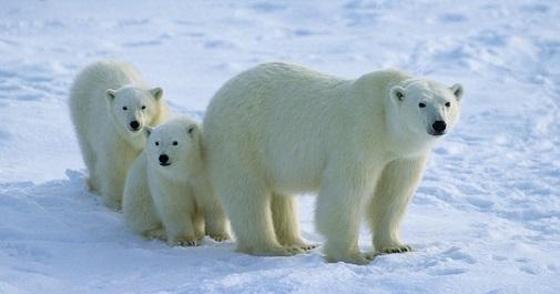 polarbear2_s