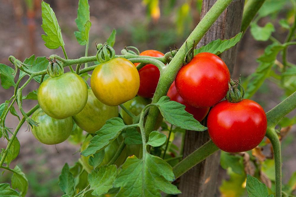 AGA:s tomater - större, bättre och godare