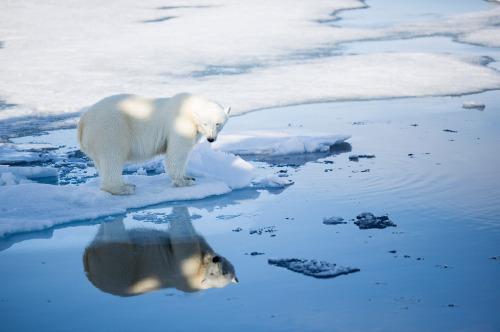 svalbard-polar-bear